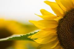 Jardim dos girassóis Os girassóis têm benefícios de saúde abundantes Sun Foto de Stock Royalty Free