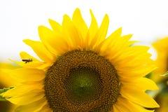 Jardim dos girassóis Os girassóis têm benefícios de saúde abundantes Sun Fotos de Stock