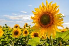 Jardim dos girassóis Os girassóis têm benefícios de saúde abundantes Imagem de Stock Royalty Free
