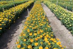 Jardim dos Marigolds fotos de stock