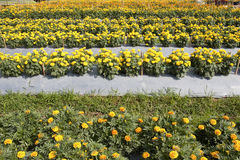 Jardim dos Marigolds imagens de stock royalty free
