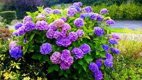 Jardim dos Mums na flor Foto de Stock Royalty Free
