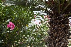 Jardim espanhol com palma e oleandro Foto de Stock Royalty Free