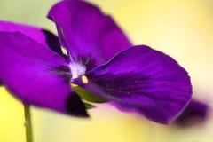 Jardim, fundo violeta roxo Foto de Stock Royalty Free
