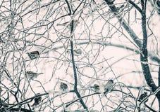 Jardim gelado Um rebanho dos pardais na árvore fotos de stock