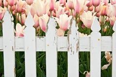 Jardim holandês do Tulip foto de stock royalty free
