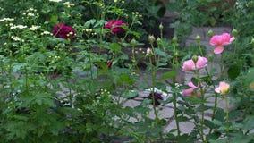 Jardim inglês tradicional com rosas e flores video estoque