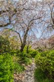 Jardim Kyoto Japão de sakura da flor completa imagem de stock royalty free