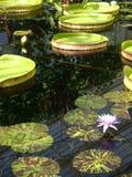 Jardim: lagoa com waterlilies Fotos de Stock