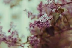 Jardim lilás da árvore na primavera Imagem de Stock
