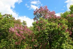 Jardim lilás, Moscou Imagens de Stock Royalty Free