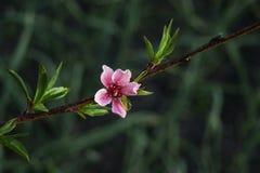 Jardim macio da flor do pêssego na primavera Fotografia de Stock