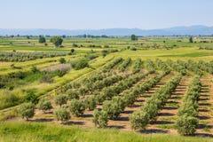 Jardim mediterrâneo, close up o ramo Imagens de Stock Royalty Free