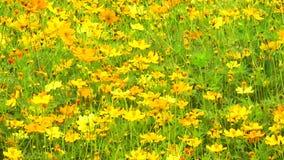 Jardim mexicano do enxofre do cosmos do amarelo do áster vídeos de arquivo
