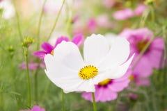 Jardim no campo, flores cor-de-rosa no dia feliz agradável Imagens de Stock Royalty Free