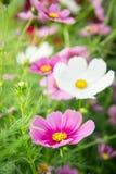 Jardim no campo, flores cor-de-rosa no dia feliz agradável Foto de Stock