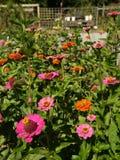 Jardim orgânico: flores alaranjadas cor-de-rosa do zinnia Imagem de Stock Royalty Free