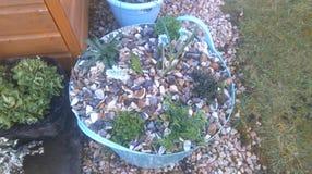 Jardim ornamental alpino em uma cuba Imagens de Stock Royalty Free