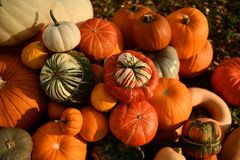 Jardim outonal no Reino Unido abóboras prontas a Hallowen imagens de stock royalty free