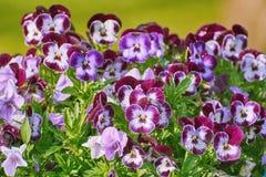 Jardim Pansy Flowers imagem de stock