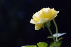 Jardim Rosa de Yelow Foto de Stock
