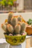 Jardim sábio do deserto da água suculento Imagens de Stock