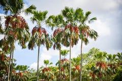Jardim tropical da palma no parque com crescimento da árvore de fruto da palma e fundo do céu fotos de stock royalty free
