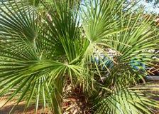 Jardim tropical Palmeira com folhas redondas Fotos de Stock