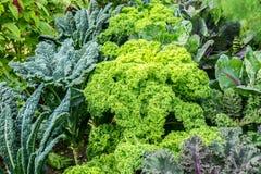Jardim vegetal com plantas da couve Imagem de Stock