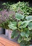 Jardim vegetal em uns potenciômetros e em uns grandes recipientes Fotografia de Stock Royalty Free