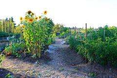 Jardim vegetal home no pátio traseiro Imagens de Stock Royalty Free