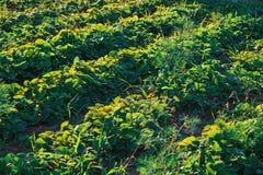Jardim vegetal no fim do verão Jardinagem amigável de Eco Indústria agrícola no campo Cultivo da salada do alimento Foto de Stock