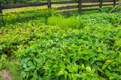 Jardim vegetal no verão Fotografia de Stock