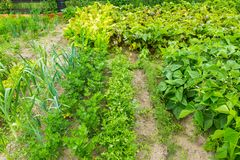 Jardim vegetal no verão Foto de Stock