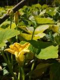 Jardim vegetal orgânico: flor do remendo da abóbora Fotografia de Stock