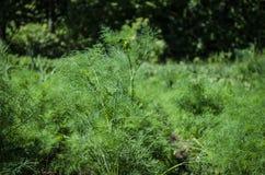 Jardim vegetal - vegetais crescentes em casa Fotografia de Stock Royalty Free