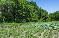 Jardim vegetal - vegetais crescentes em casa Foto de Stock