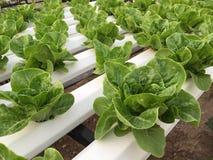 Jardim vegetal verde Imagem de Stock