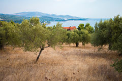 Jardim verde-oliva em Grécia fotografia de stock