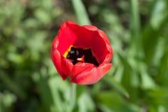 Jardim vermelho da papoila na primavera Imagem de Stock Royalty Free