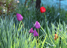 Jardim violeta das tulipas Fotos de Stock Royalty Free