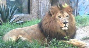 jardim zoológico Ámérica do Sul do leão imagem de stock royalty free