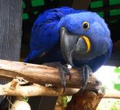 Jardim zoológico azul Califórnia da arara EUA Foto de Stock Royalty Free