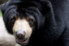 Jardim zoológico de Bear_Dusit Foto de Stock