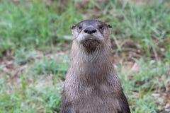 Jardim zoológico de Little Rock - Sr. Lontra-homem Imagem de Stock Royalty Free