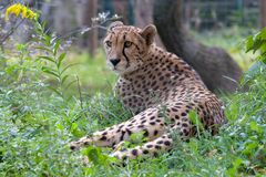 Jardim zoológico de Schonbrunn cheetah imagem de stock royalty free