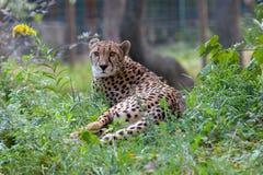 Jardim zoológico de Schonbrunn cheetah fotos de stock royalty free