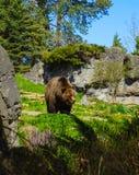 Jardim zoológico de Seattle do urso de Brown do Kodiak imagens de stock royalty free