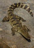 Jardim zoológico de Tailândia da água salgada do crocodilo Foto de Stock