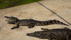 Jardim zoológico de Tailândia da água salgada do crocodilo Fotos de Stock Royalty Free